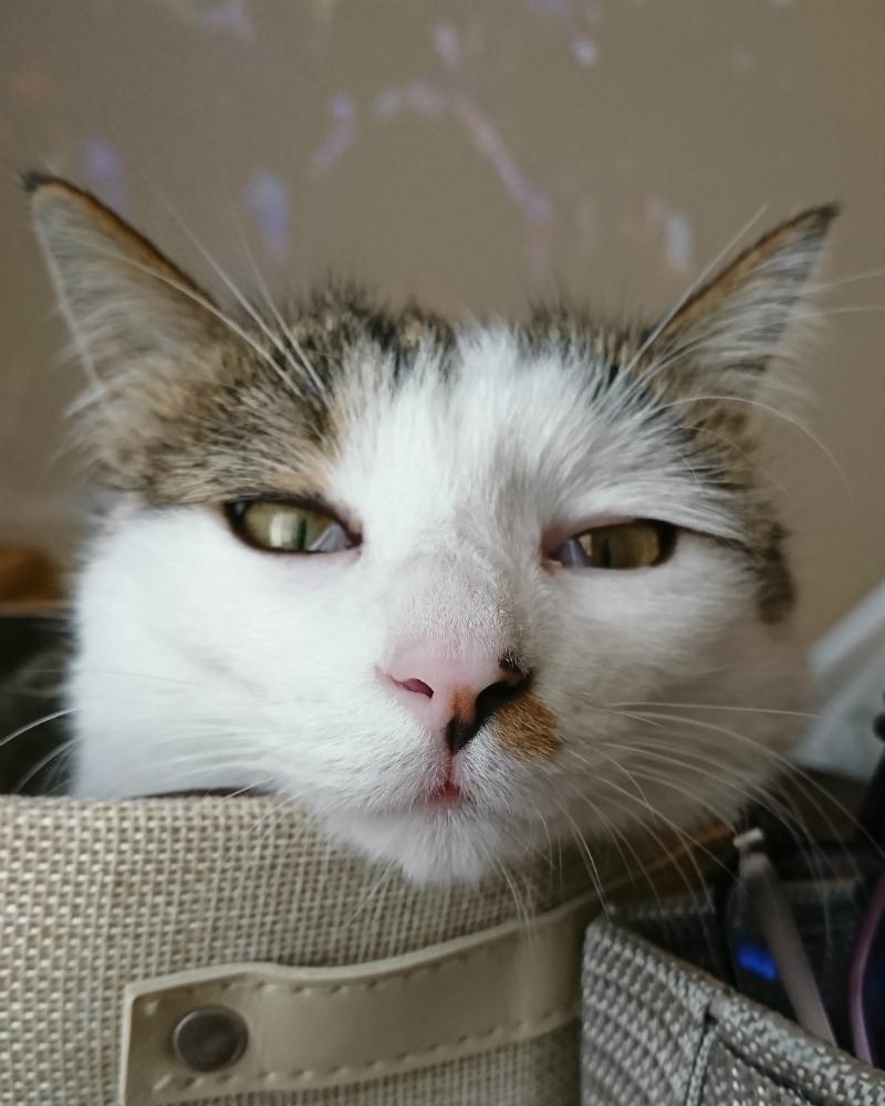 アップのキジトラ白の猫