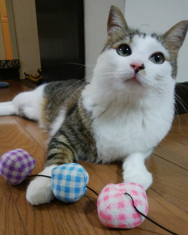 おもちゃとキジトラ白の猫ういちゃん