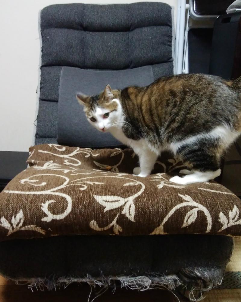 爪とぎでボロボロのソファーの上に乗る悪い顔のキジトラ白の猫・ういちゃん