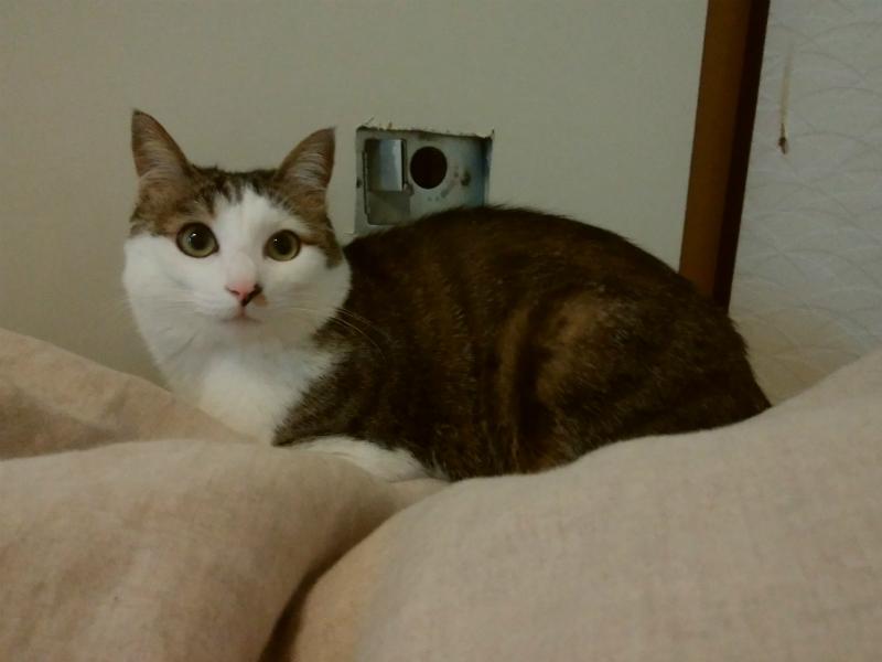 キョトン顔のキジトラ白の猫・ういちゃんと破られたふすま