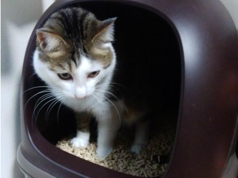 ニャンとも清潔トイレを使うキジトラ白の猫・ういちゃん