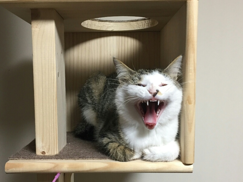 キャットタワーでくつろいであくびをするキジトラ白の猫