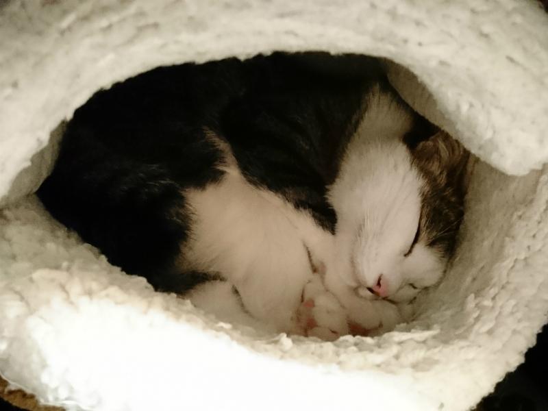 ニャンともマカロンの中で丸まって眠るキジトラ白の猫