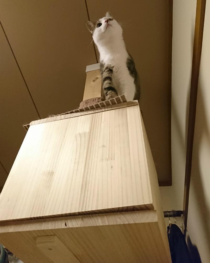 キャットタワーで縄張りを見下ろすキジトラ白の猫