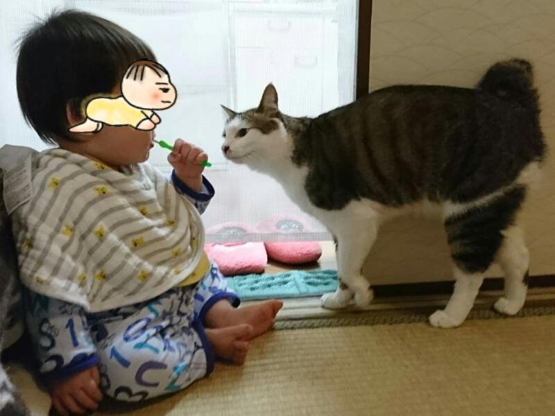歯磨きをする息子とキジトラ白の猫ういちゃん
