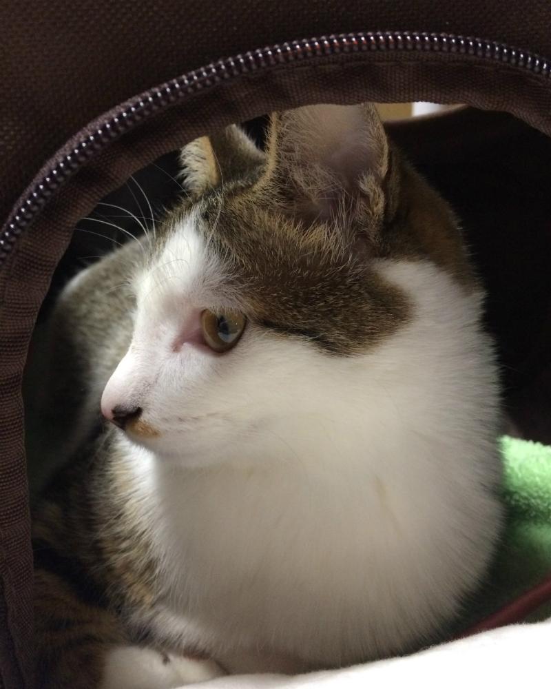 ソフトキャリーケースでくつろぐキジトラ白の猫