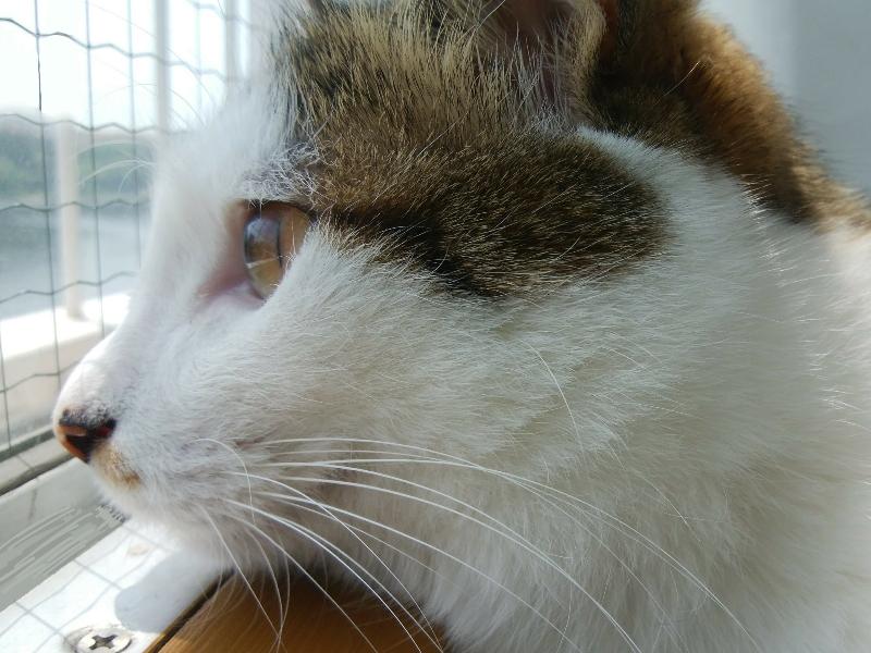 遠くを見つめるキジトラ白の猫ういちゃん