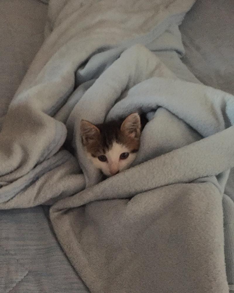 布団に潜るキジトラ白の子猫ういちゃん