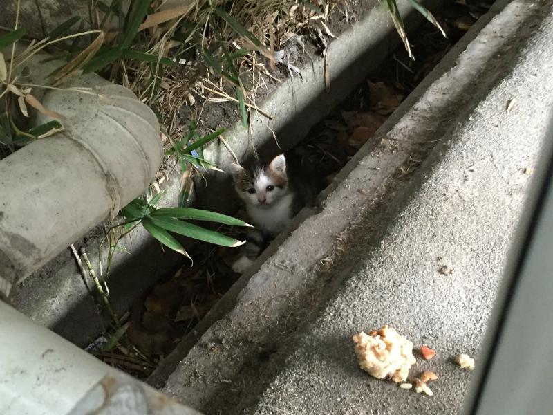 キジトラ白の子猫ういちゃんの野良時代