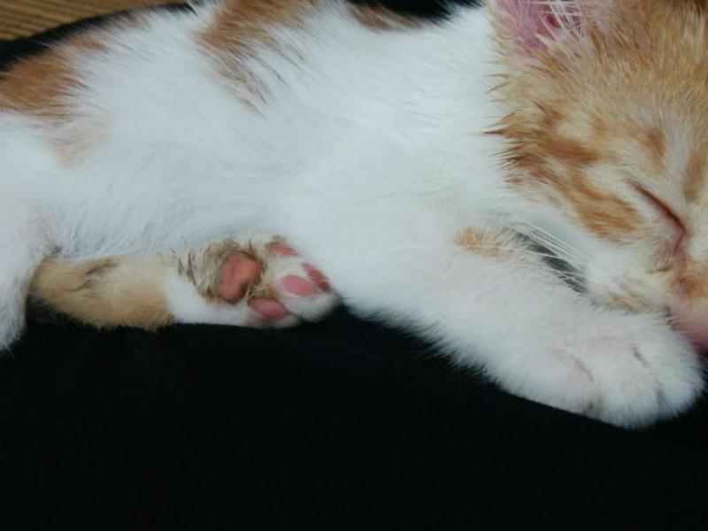 足にうんちがついている茶トラ白の子猫・ムギの足のアップ