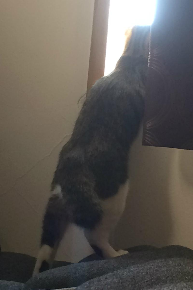 窓の外を覗くキジトラ白の猫ういちゃん