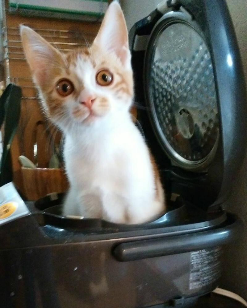 甘えん坊の茶トラ白の、めで子の実家の猫、ムギ