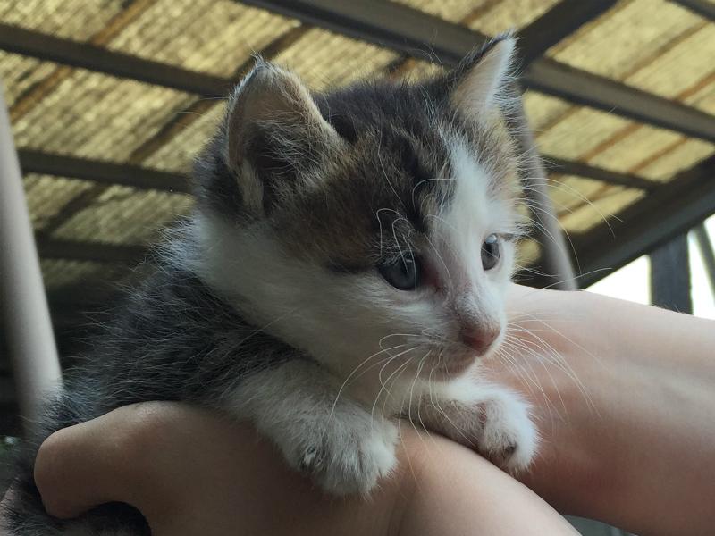 キジトラ白の子猫ういちゃん