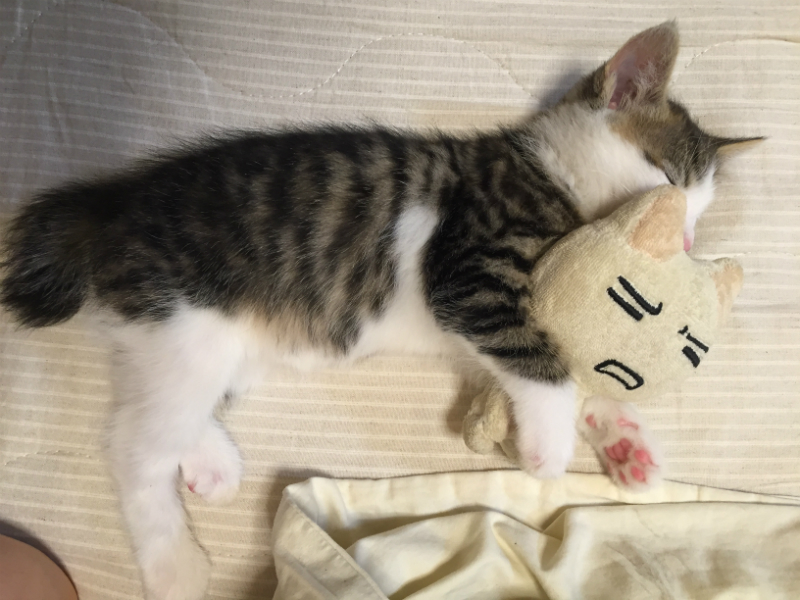 ぬいぐるみを抱えて眠るキジトラ白の子猫