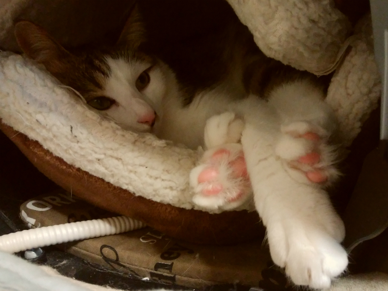 ニャンともマカロンの中にいるキジトラ白の猫ういちゃん