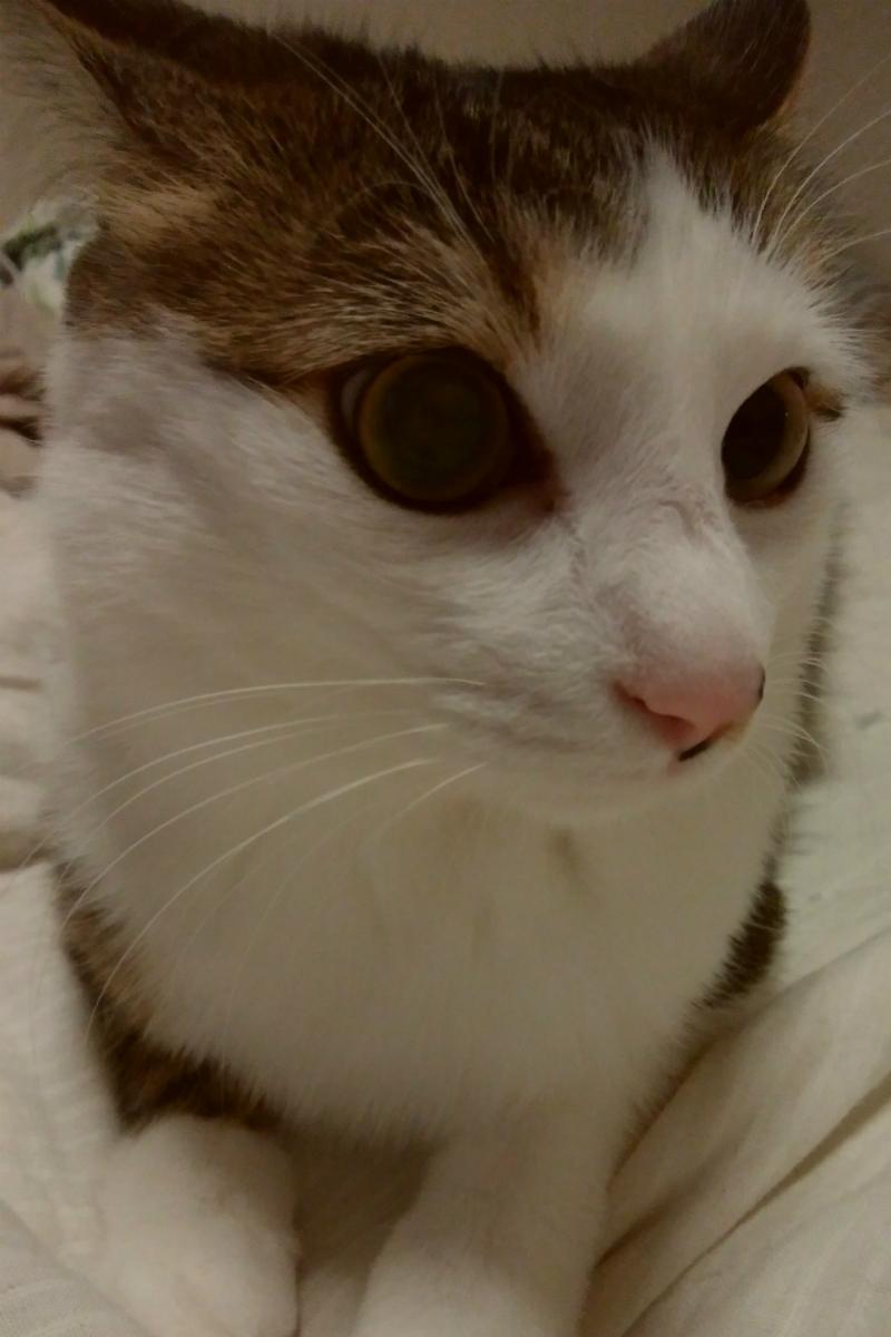 イカ耳で警戒しているキジトラ白の猫
