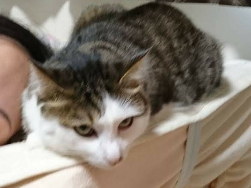 寄り添われて嫌な顔をするキジトラ白の猫ういちゃん