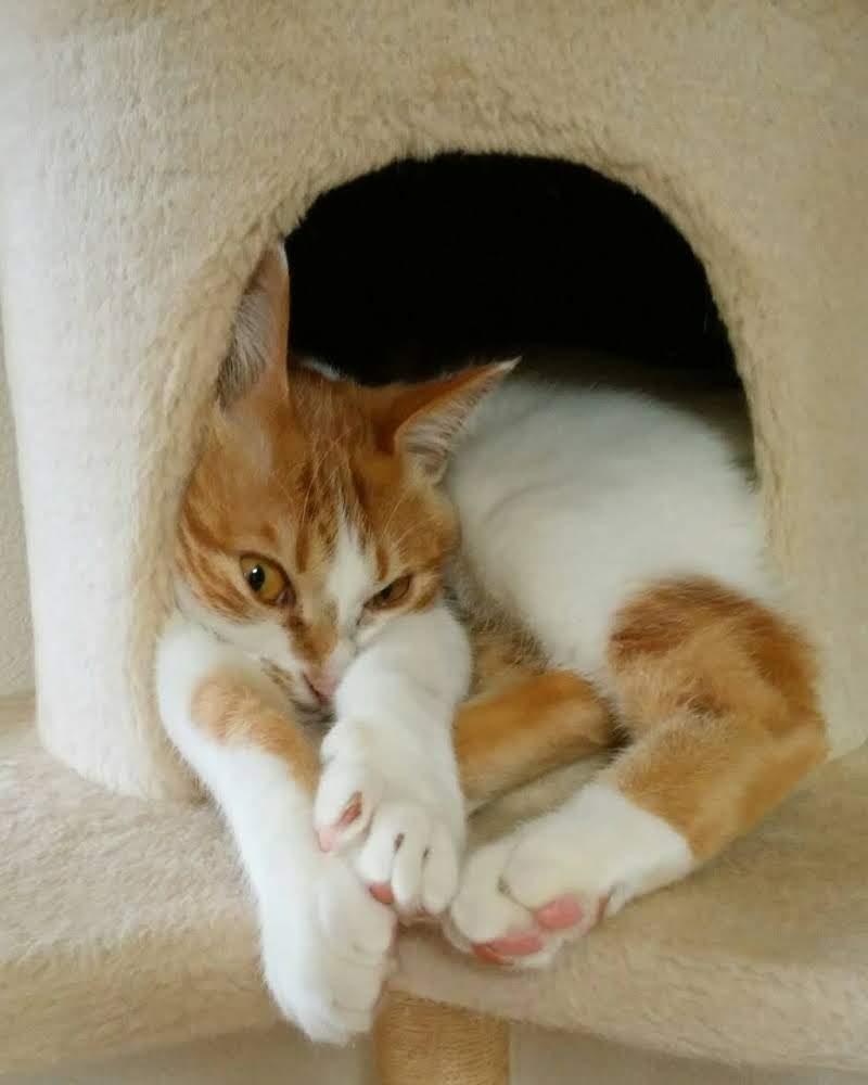 アイリスオーヤマ キャットタワーでくつろぐ茶トラ白の猫