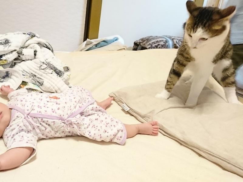 赤ちゃんにびっくりするキジトラ白の猫