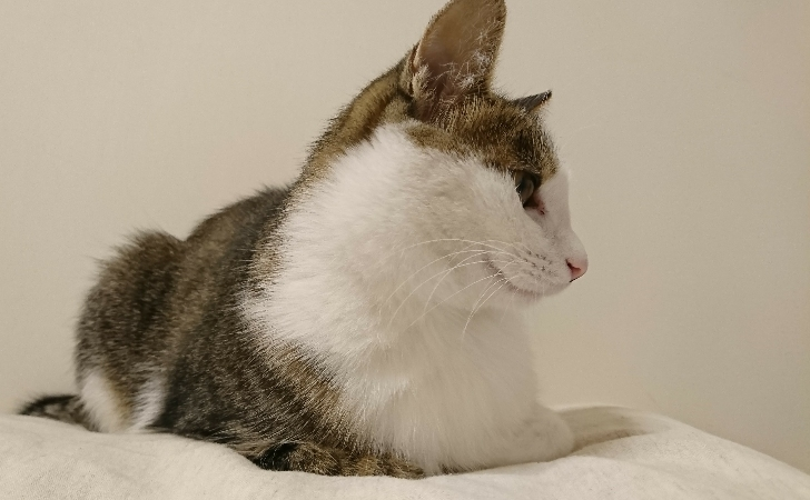 すまし顔のキジトラ白の猫