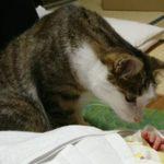 赤ちゃんの手の匂いをかぐキジトラ白の猫ういちゃん