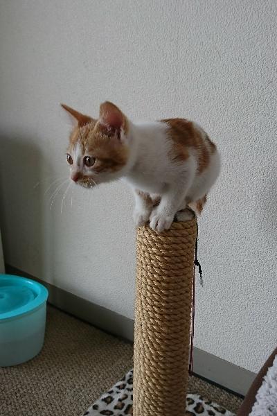 やんちゃな茶トラ白の猫