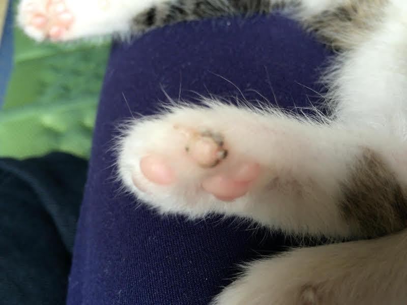 肉球が白癬菌により黒くなったキジトラ白の猫・ういちゃん