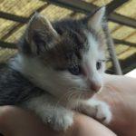 キジトラ白の野良の子猫ういちゃん