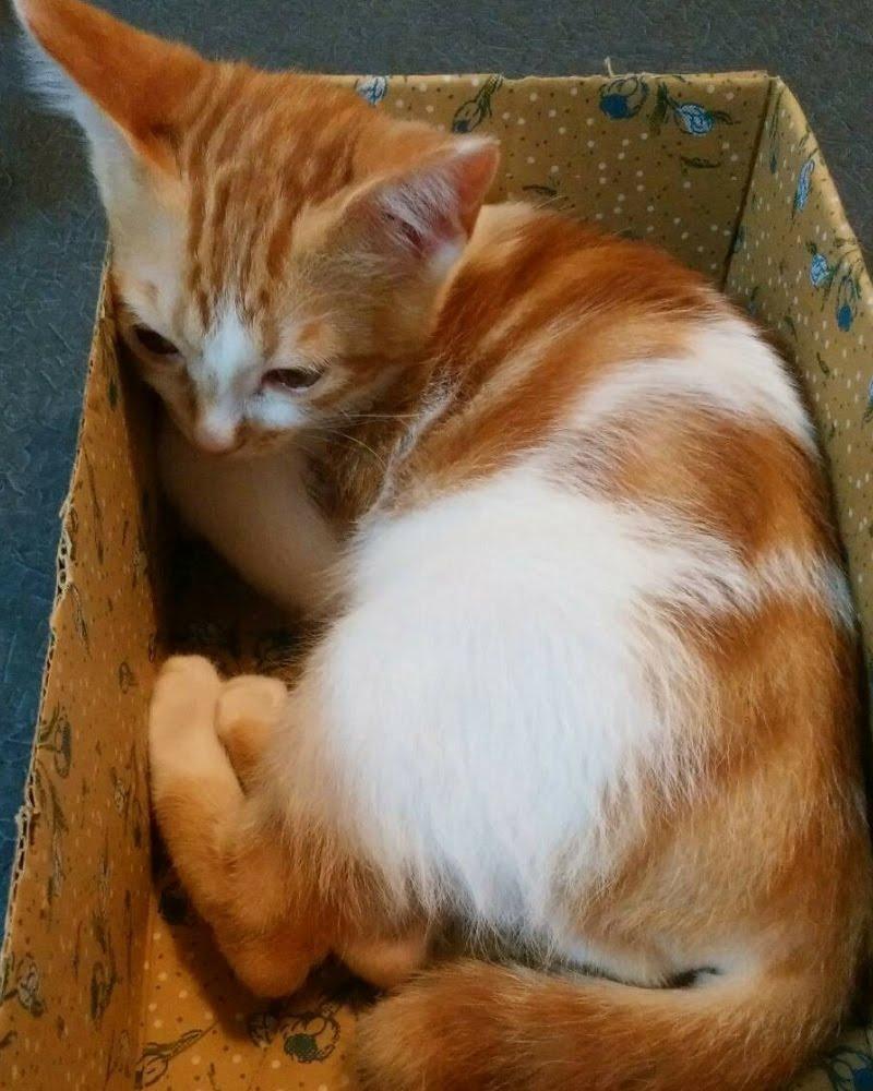 ダンボールの中でくつろぐ茶トラ白の猫ムギ