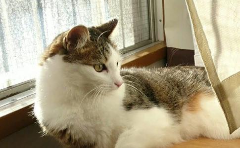 窓辺に座るキジトラ白の猫ういちゃん