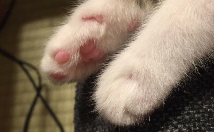 キジトラ白の子猫の手