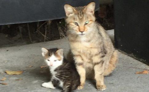キジトラ白の野良の子猫ういちゃんとお母さん